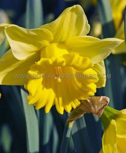 DAFFODIL (NARCISSUS) TRUMPET 'RYNVELDS EARLY SENSATION' 14-16 (50 P.BINBOX)