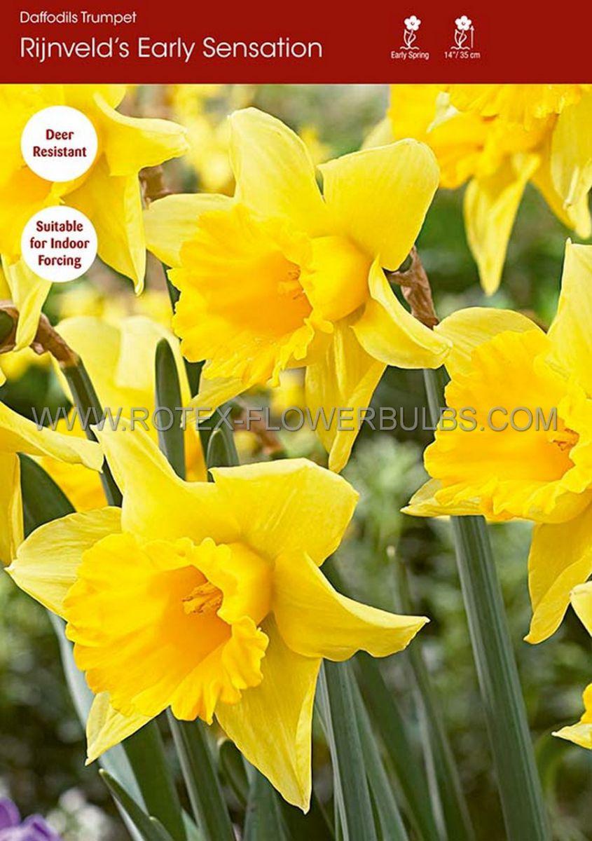 daffodil narcissus trumpet rynvelds early sensation 1416 50 pbinbox