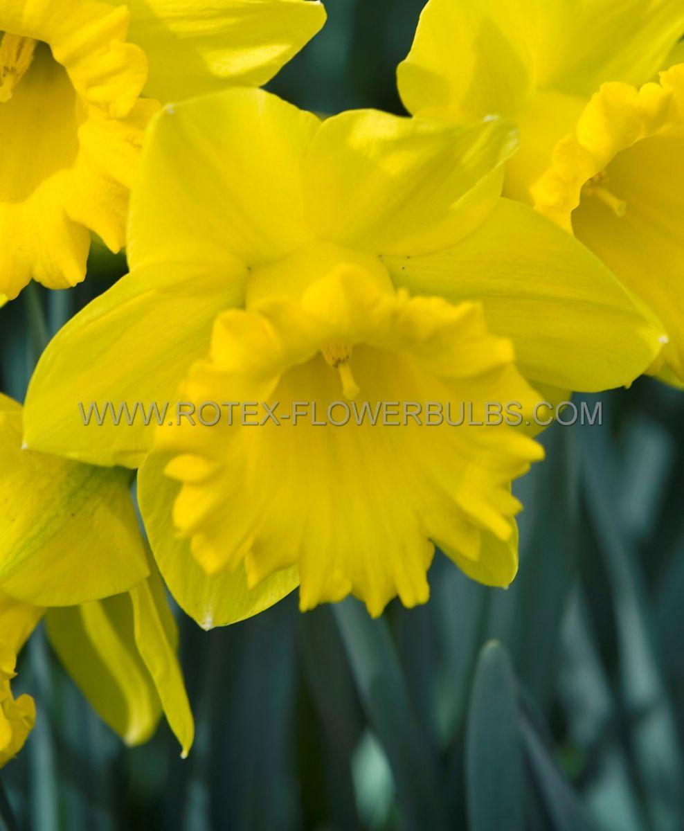 daffodil narcissus trumpet sint victor 1416 50 pbinbox