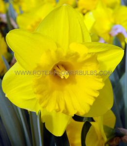 DAFFODIL (NARCISSUS) TRUMPET 'YELLOW RIVER' 14-16 (200 P.PLASTIC TRAY)