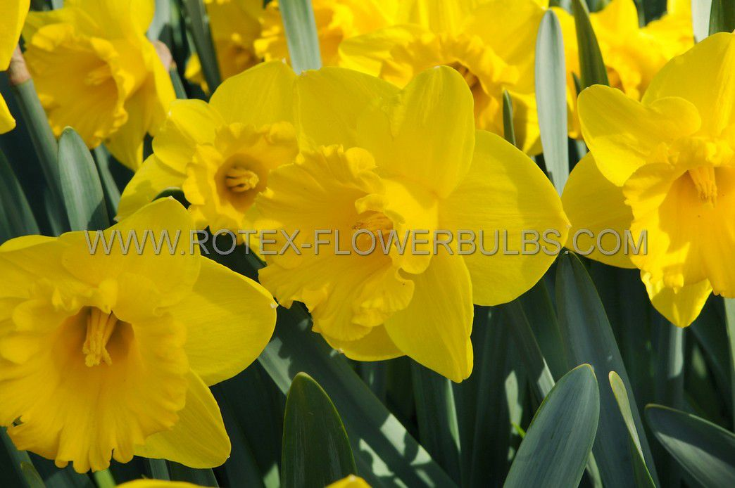 daffodil narcissus trumpet yellow river 1416 200 pplastic tray