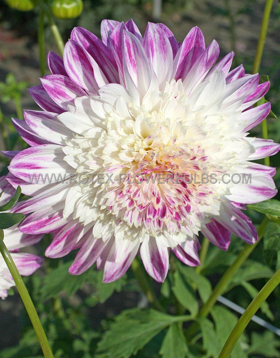 dahlia anemone que sera i 25 pcarton
