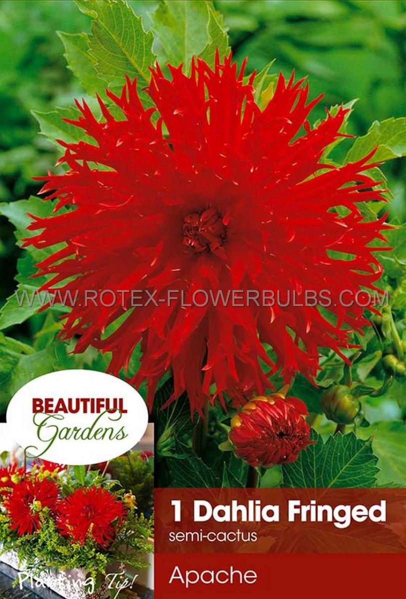 dahlia cactussemicactus apache i 10 pkgsx 1