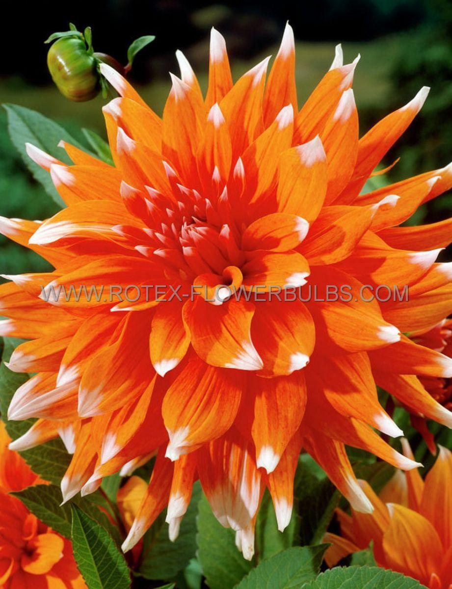 dahlia cactussemicactus color spectacle i 25 pcarton
