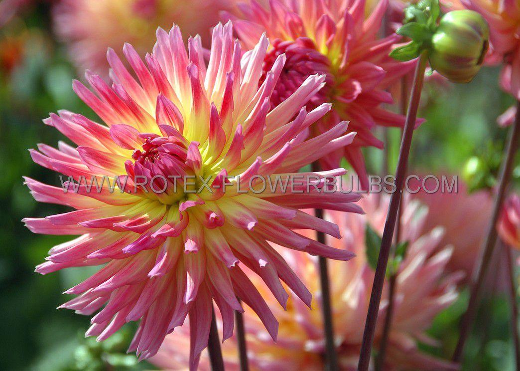 dahlia cactussemicactus karma sangria i 15 popen top box