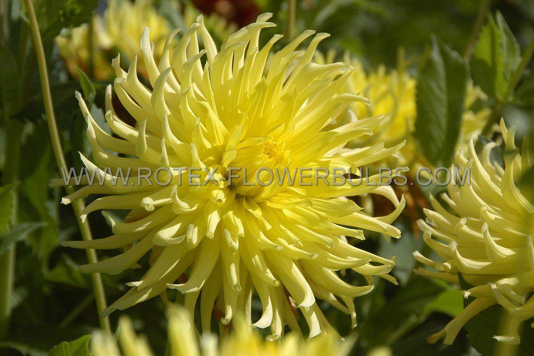 dahlia cactussemicactus kennemerland i 10 pkgsx 1