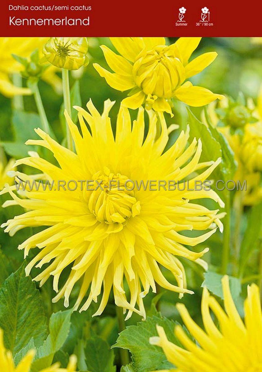 dahlia cactussemicactus kennemerland i 15 popen top box