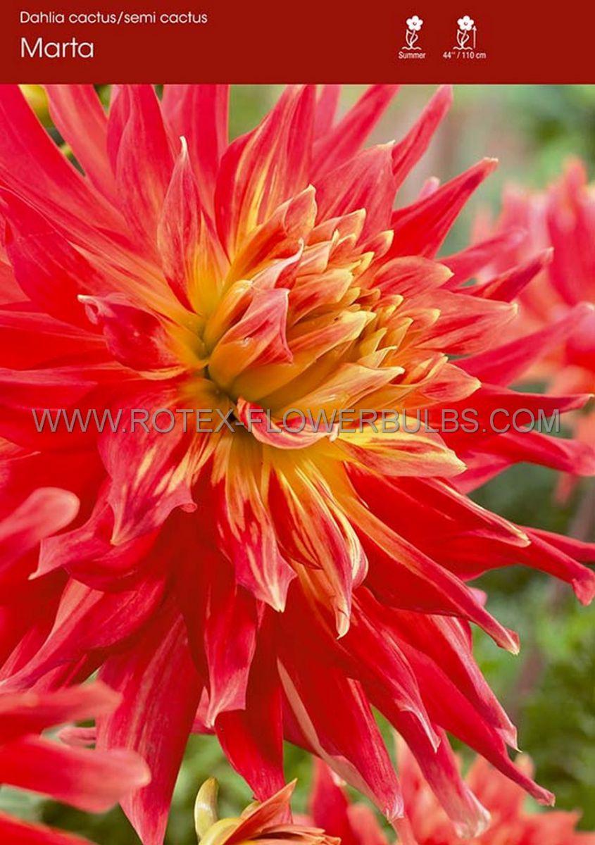 dahlia cactussemicactus marta i 15 popen top box