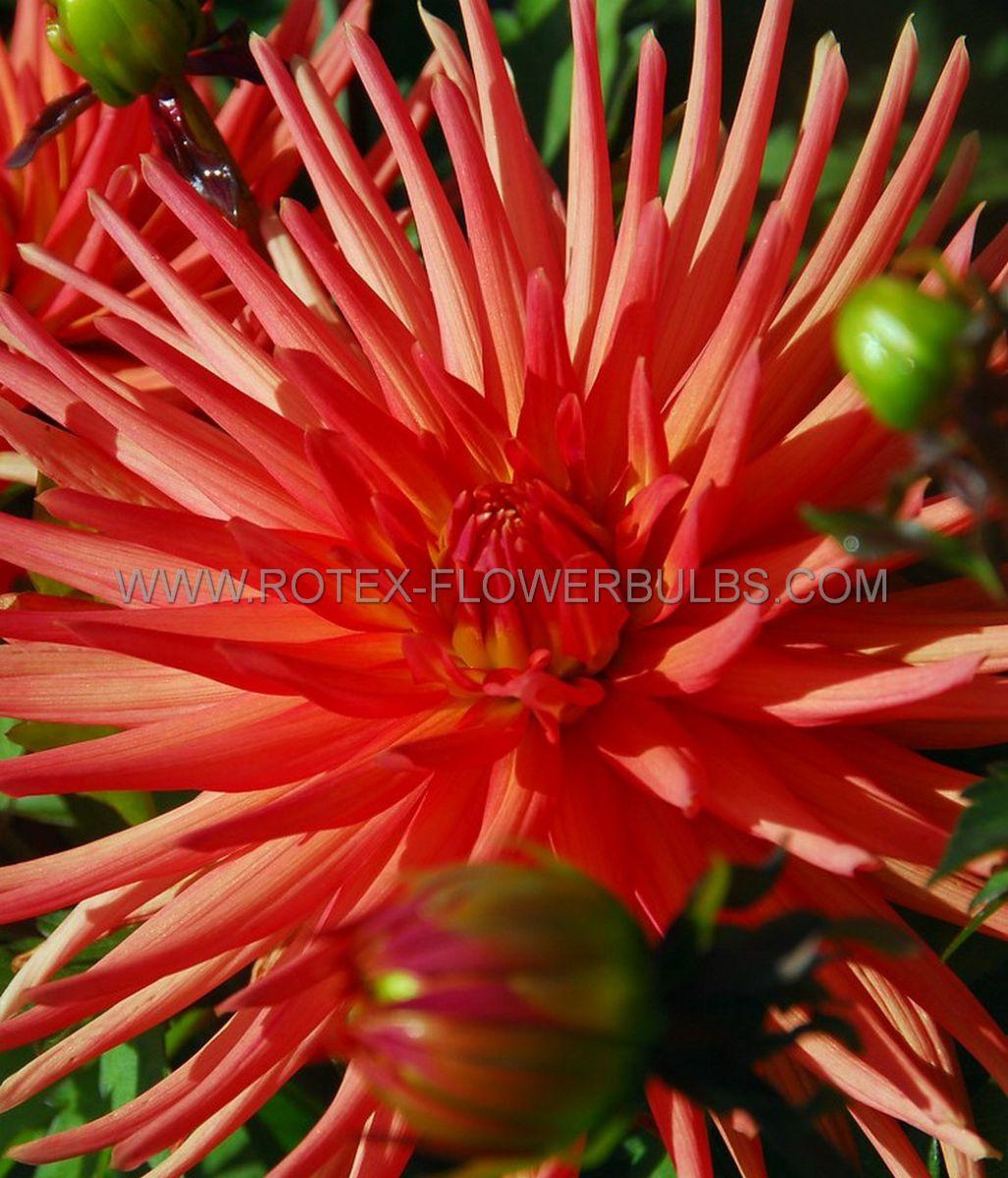 dahlia cactussemicactus park record i 25 pcarton