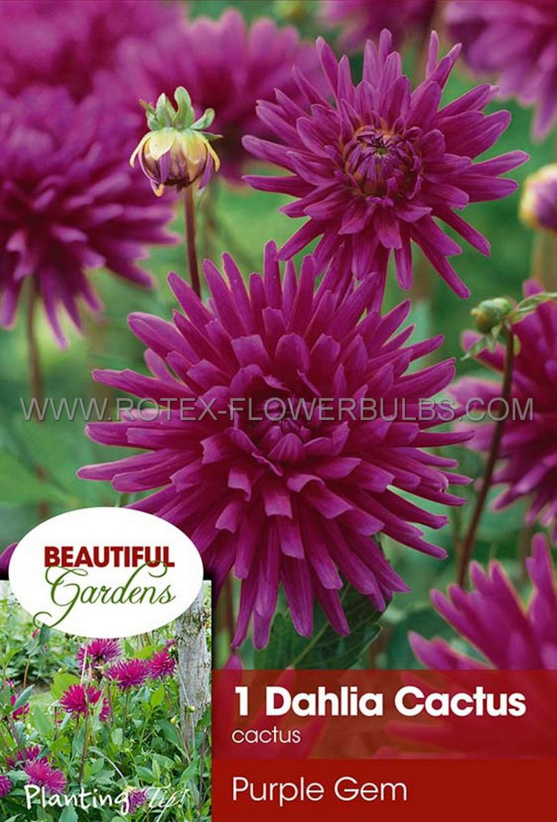 dahlia cactussemicactus purple gem i 10 pkgsx 1