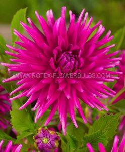 DAHLIA CACTUS/SEMI-CACTUS 'PURPLE GEM' I (15 P.OPEN TOP BOX)