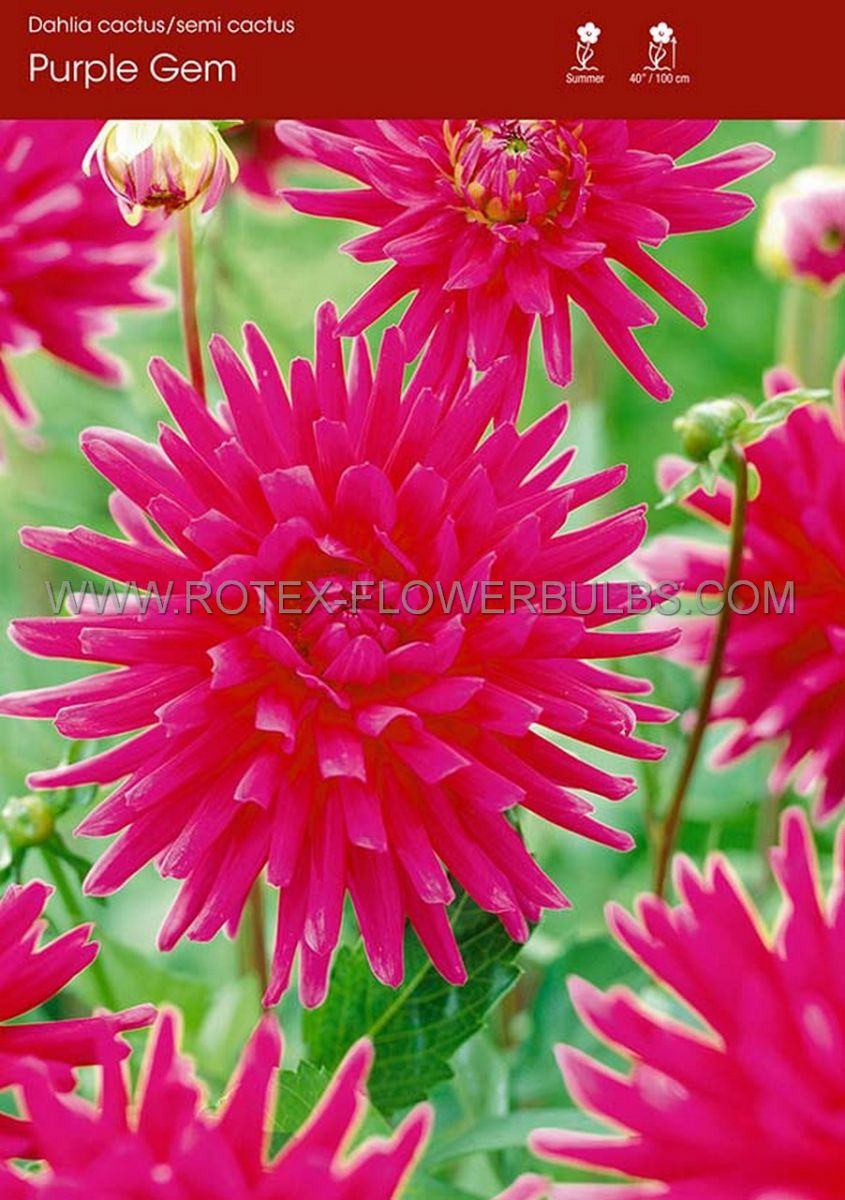 dahlia cactussemicactus purple gem i 15 popen top box
