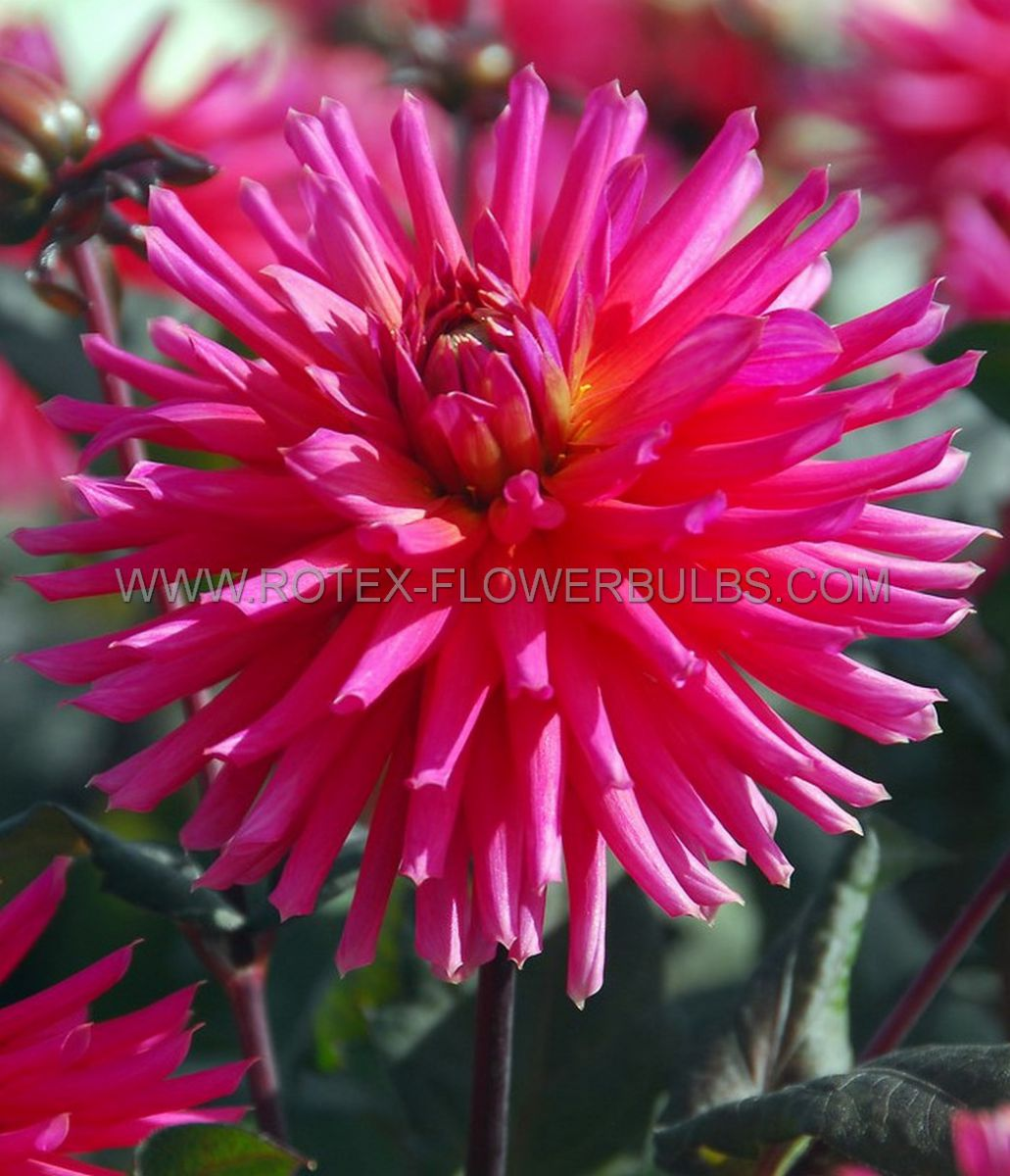 dahlia cactussemicactus radiance i 10 pkgsx 1