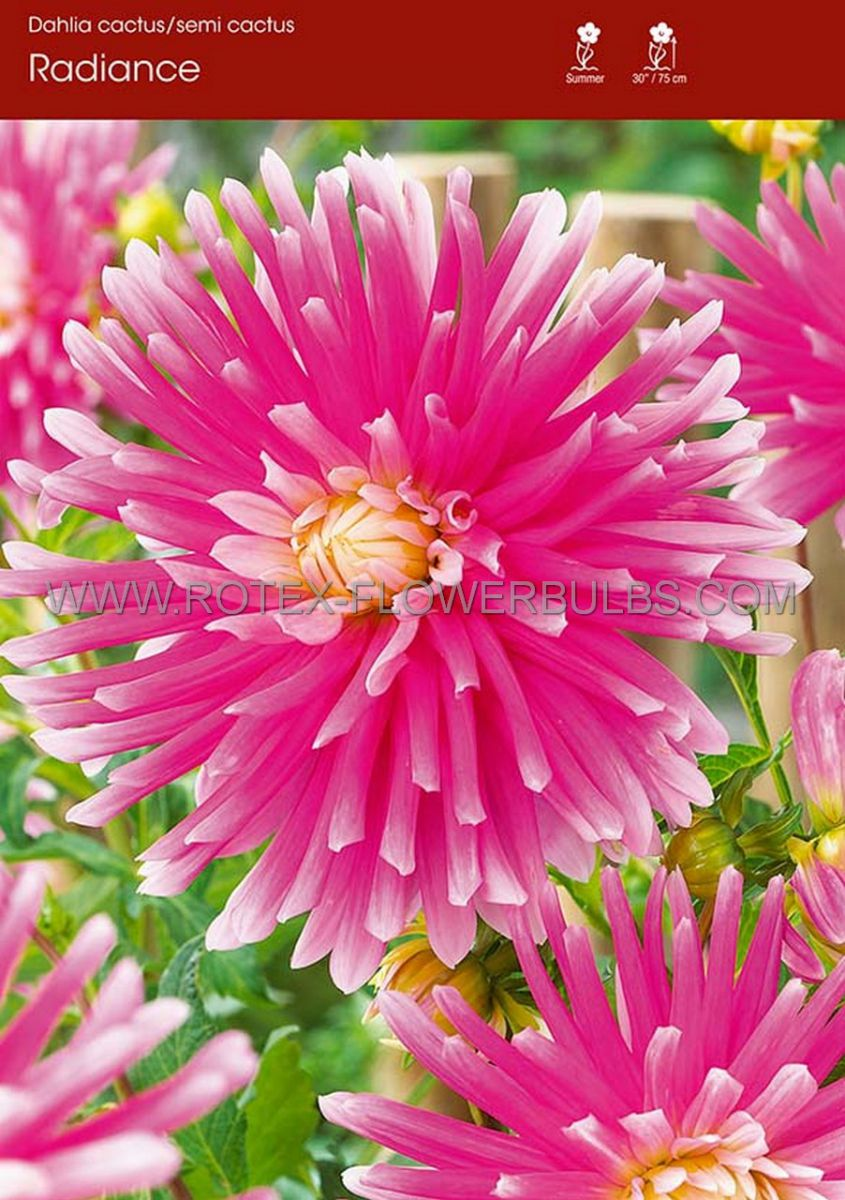 dahlia cactussemicactus radiance i 15 popen top box
