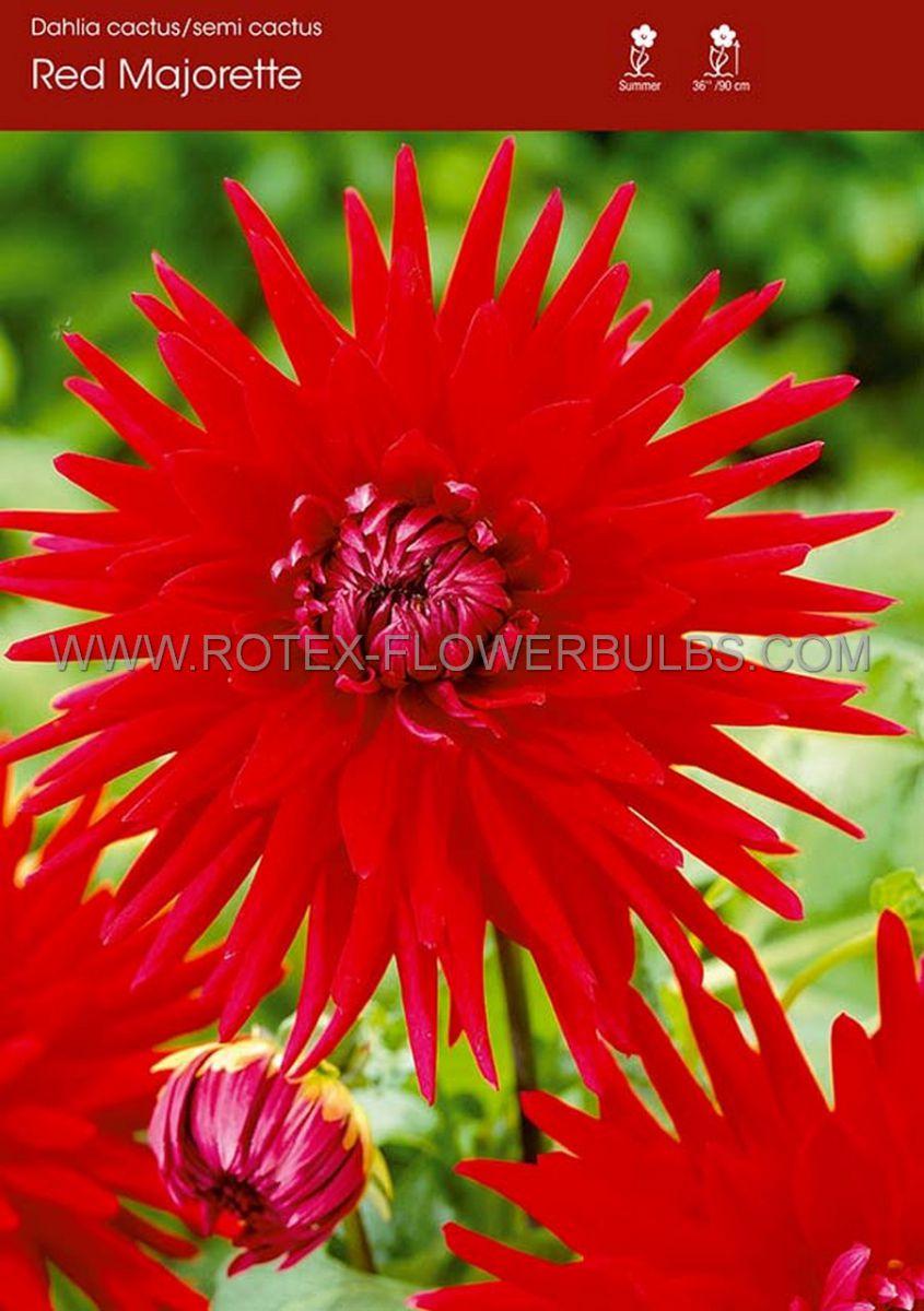dahlia cactussemicactus red majorette i 10 pkgsx 1