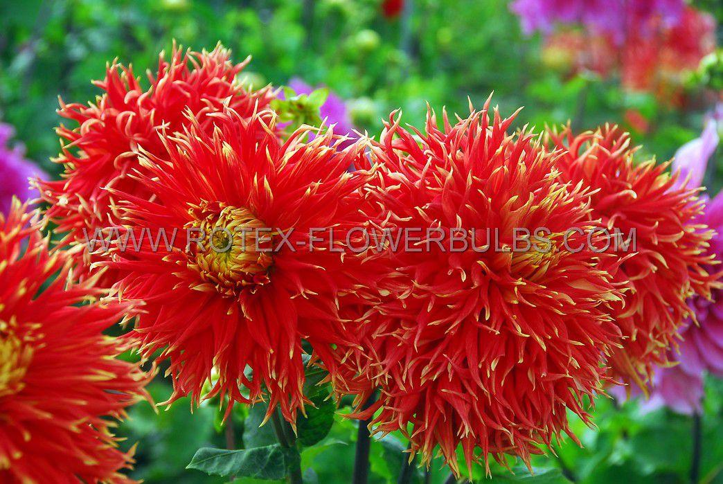 dahlia cactussemicactus show n tell i 25 pcarton