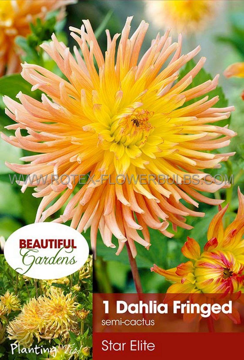 dahlia cactussemicactus star elite i 10 pkgsx 1