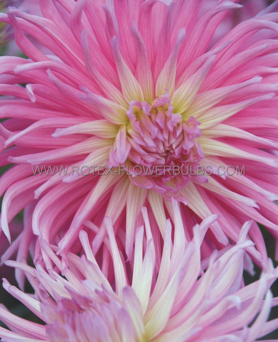 dahlia cactussemicactus stars favourite i 10 pkgsx 1