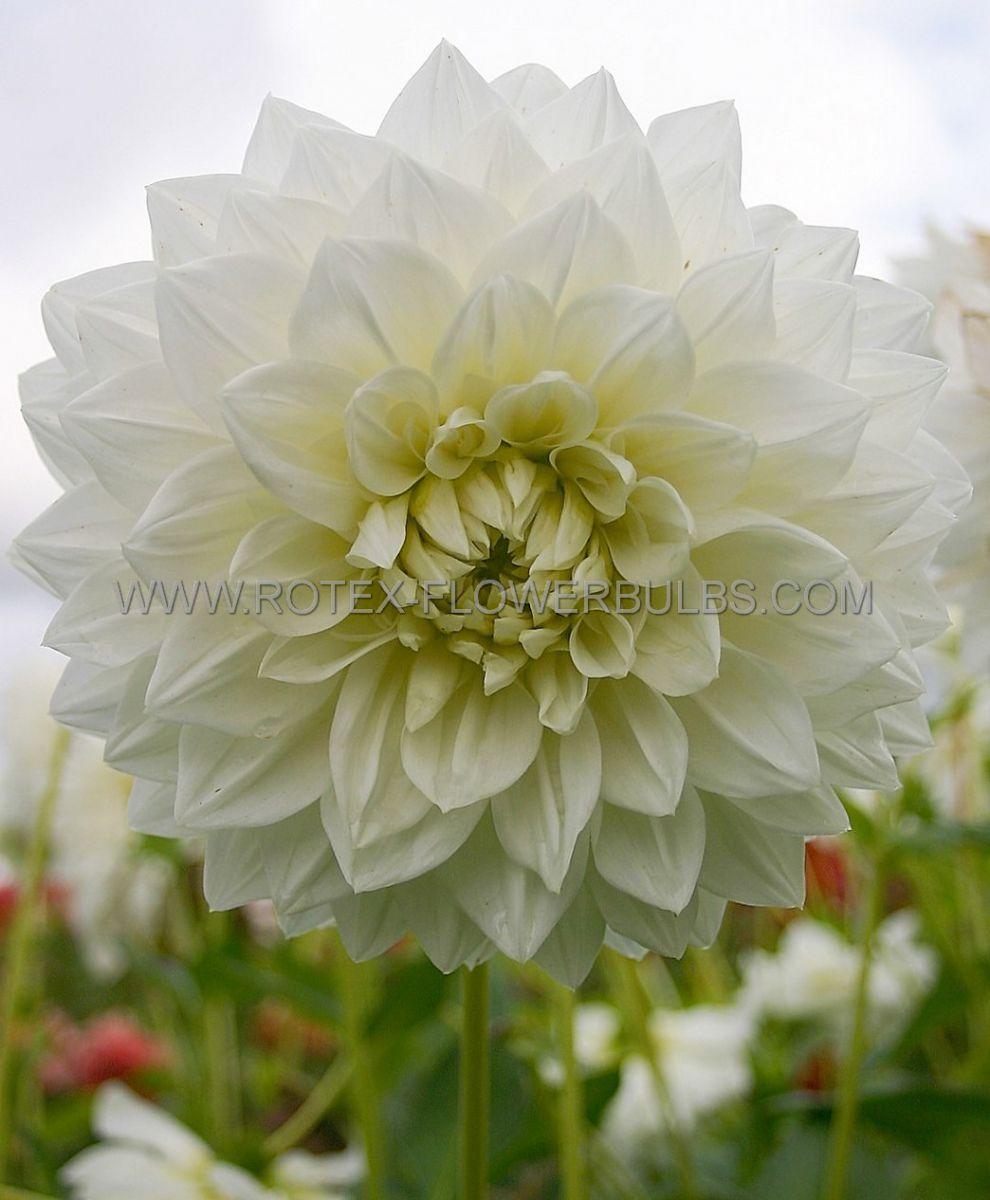 dahlia cactussemicactus white perfection i 25 pcarton