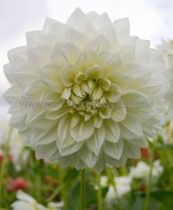 DAHLIA CACTUS/SEMI-CACTUS 'WHITE PERFECTION' I (25 P.CARTON)