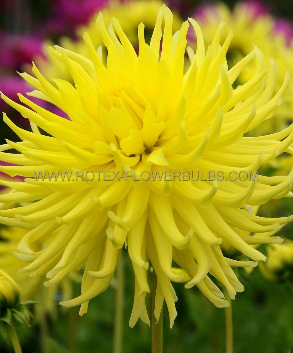 dahlia cactussemicactus yellow star i 10 pkgsx 1
