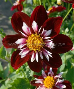 DAHLIA COLORETTE 'NIGHT BUTTERFLY' I (25 P.CARTON)