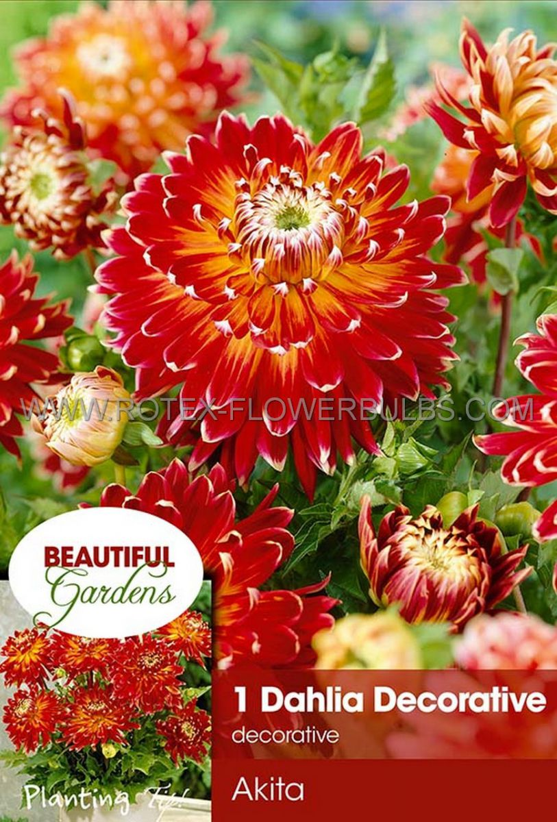 dahlia decorative akita i 10 pkgsx 1