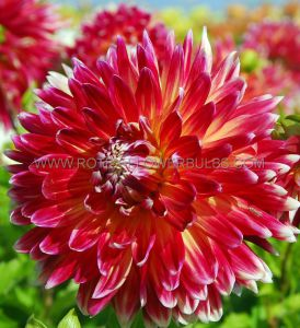 DAHLIA DECORATIVE 'AKITA' I (15 P.OPEN TOP BOX)