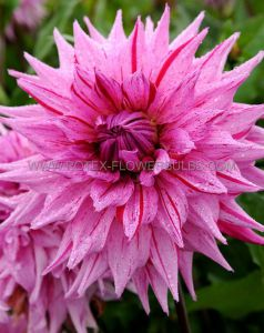DAHLIA DECORATIVE 'AMERICAN DREAM' I (15 P.OPEN TOP BOX)