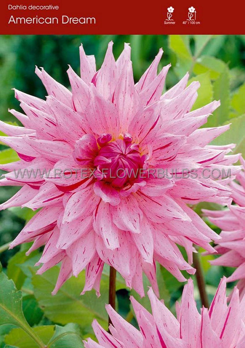 dahlia decorative american dream i 15 popen top box