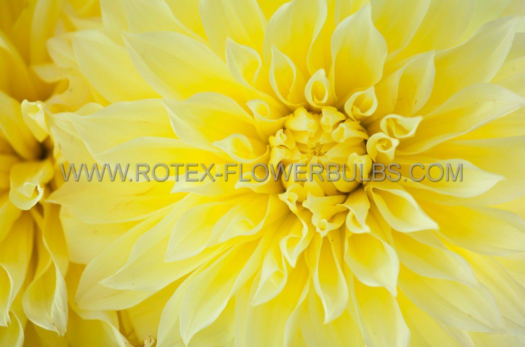 dahlia decorative american sun i 10 pkgsx 1