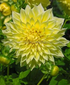 DAHLIA DECORATIVE 'AMERICAN SUN' I (15 P.OPEN TOP BOX)