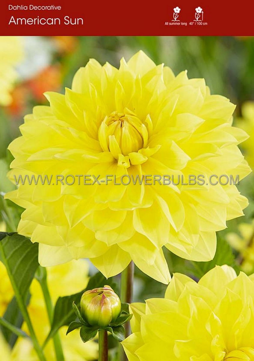 dahlia decorative american sun i 15 popen top box