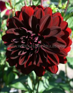 DAHLIA DECORATIVE 'ARABIAN NIGHT' I (25 P.CARTON)