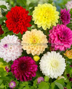 DAHLIA DECORATIVE ASSORTMENT I (40 PKGS.X 1)