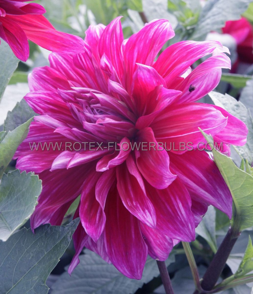 dahlia decorative babylon purple i 25 pcarton
