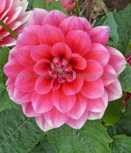 DAHLIA DECORATIVE 'BERLINER KLEENE' I (25 P.CARTON)