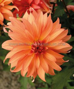 DAHLIA DECORATIVE (BORDER/POTS) 'AUTUMN FAIRY' I (10 PKGS.X 1)