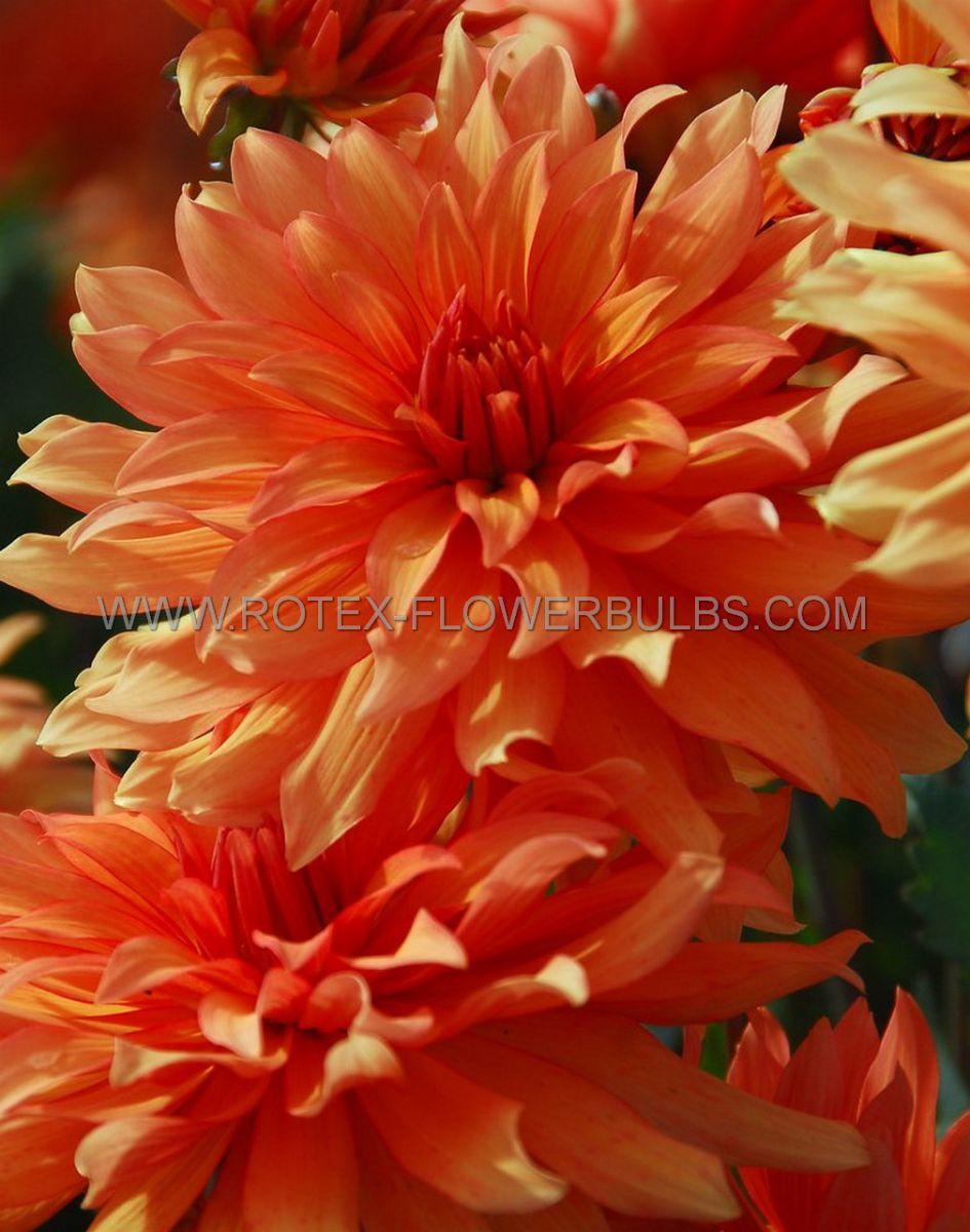 dahlia decorative borderpots autumn fairy i 10 pkgsx 1