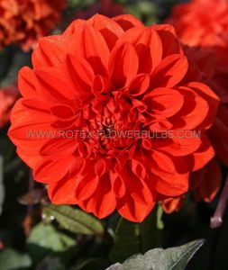 DAHLIA DECORATIVE (BORDER/POTS) 'ELLEN HOUSTON' I (10 PKGS.X 1)