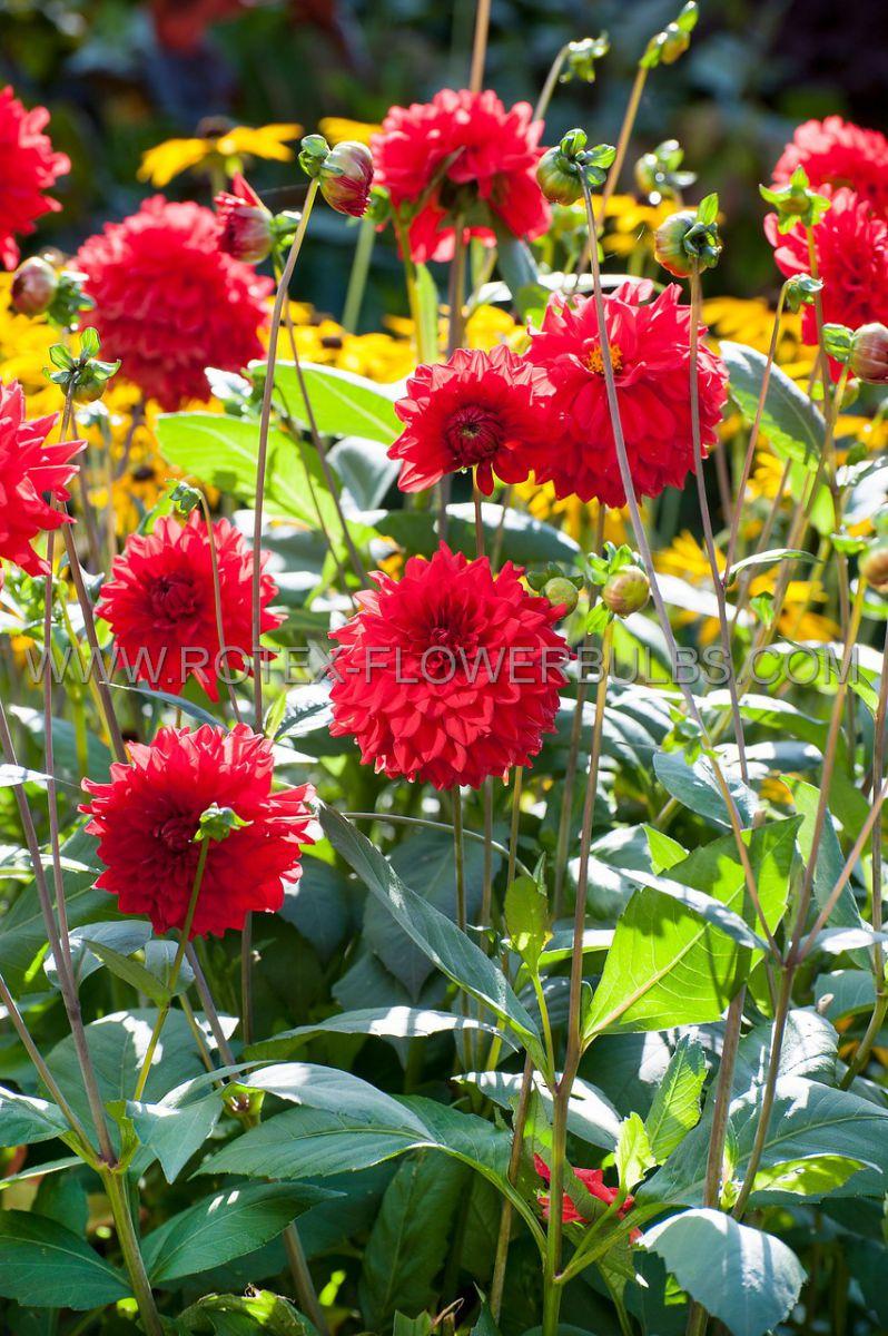 dahlia decorative borderpots ellen houston i 10 pkgsx 1