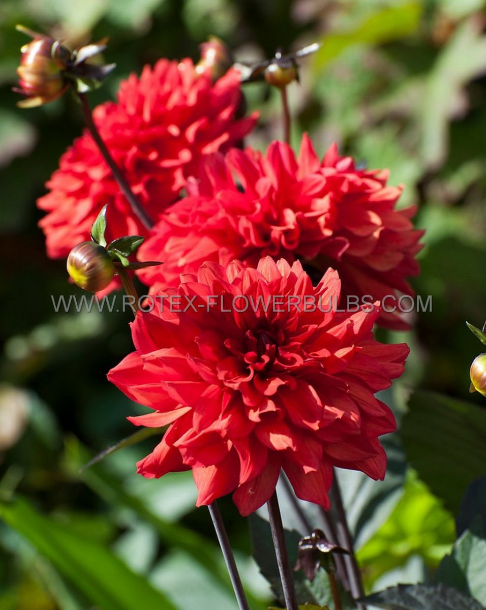 dahlia decorative borderpots ellen houston i 25 pcarton
