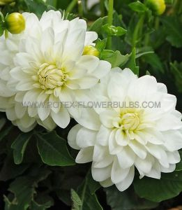 DAHLIA DECORATIVE (BORDER/POTS) 'GALLERY ART FAIR' I (10 PKGS.X 1)