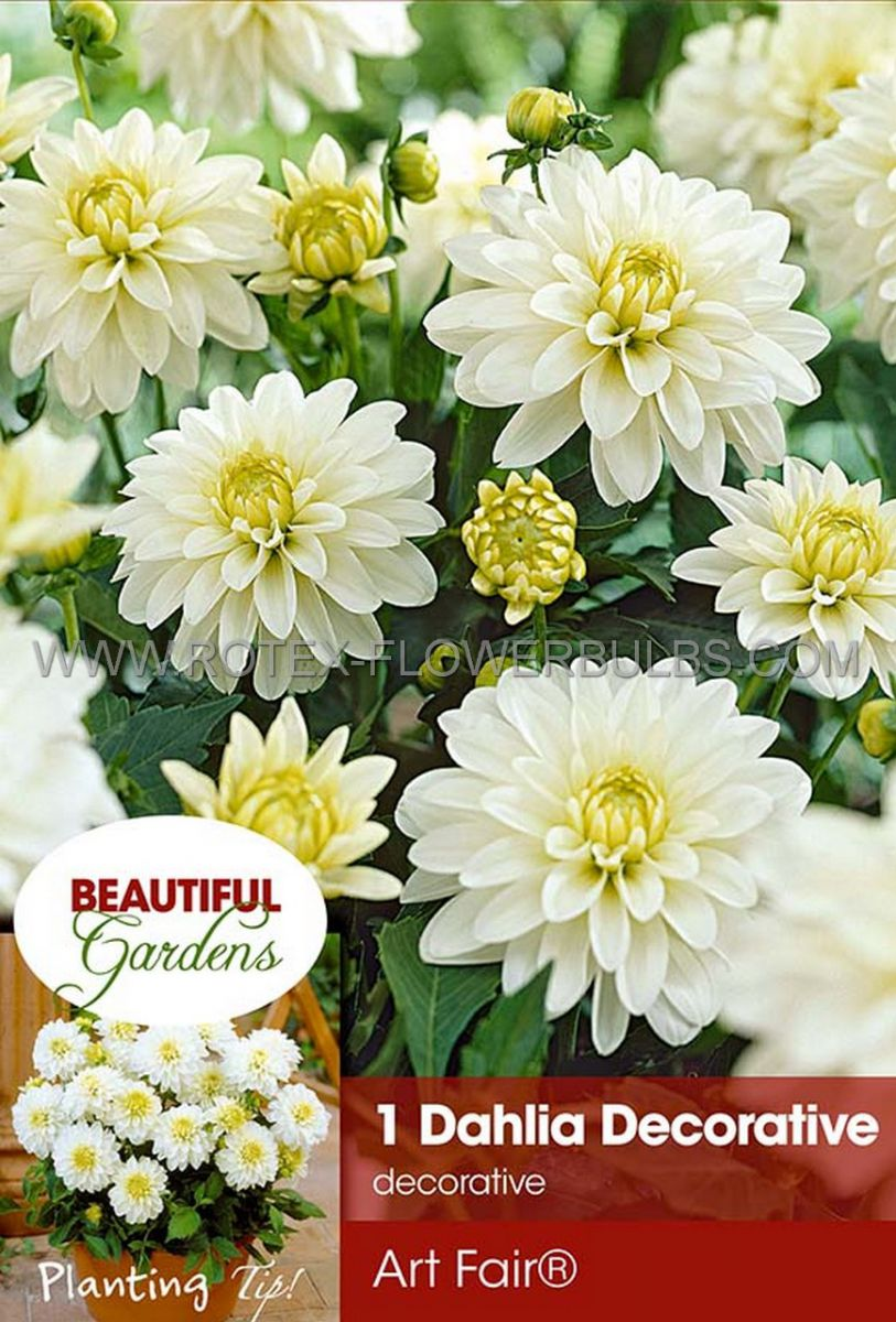 dahlia decorative borderpots gallery art fair i 10 pkgsx 1