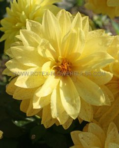 DAHLIA DECORATIVE (BORDER/POTS) 'GALLERY CEZANNE' I (25 P.CARTON)
