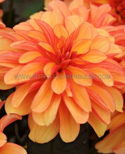 DAHLIA DECORATIVE (BORDER/POTS) 'GALLERY COBRA' I (25 P.CARTON)