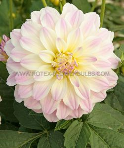 DAHLIA DECORATIVE (BORDER/POTS) 'GALLERY MONET' I (25 P.CARTON)