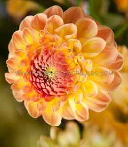 DAHLIA DECORATIVE (BORDER/POTS) 'GALLERY PABLO' I (25 P.CARTON)