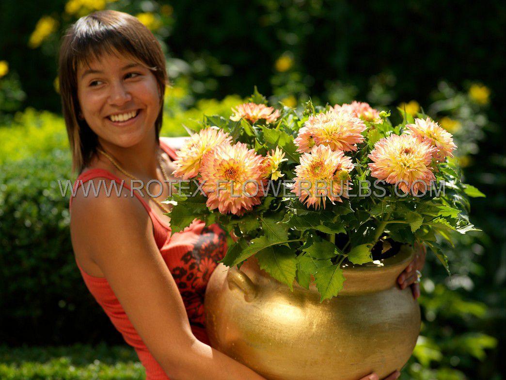 dahlia decorative borderpots gallery pablo i 25 pcarton