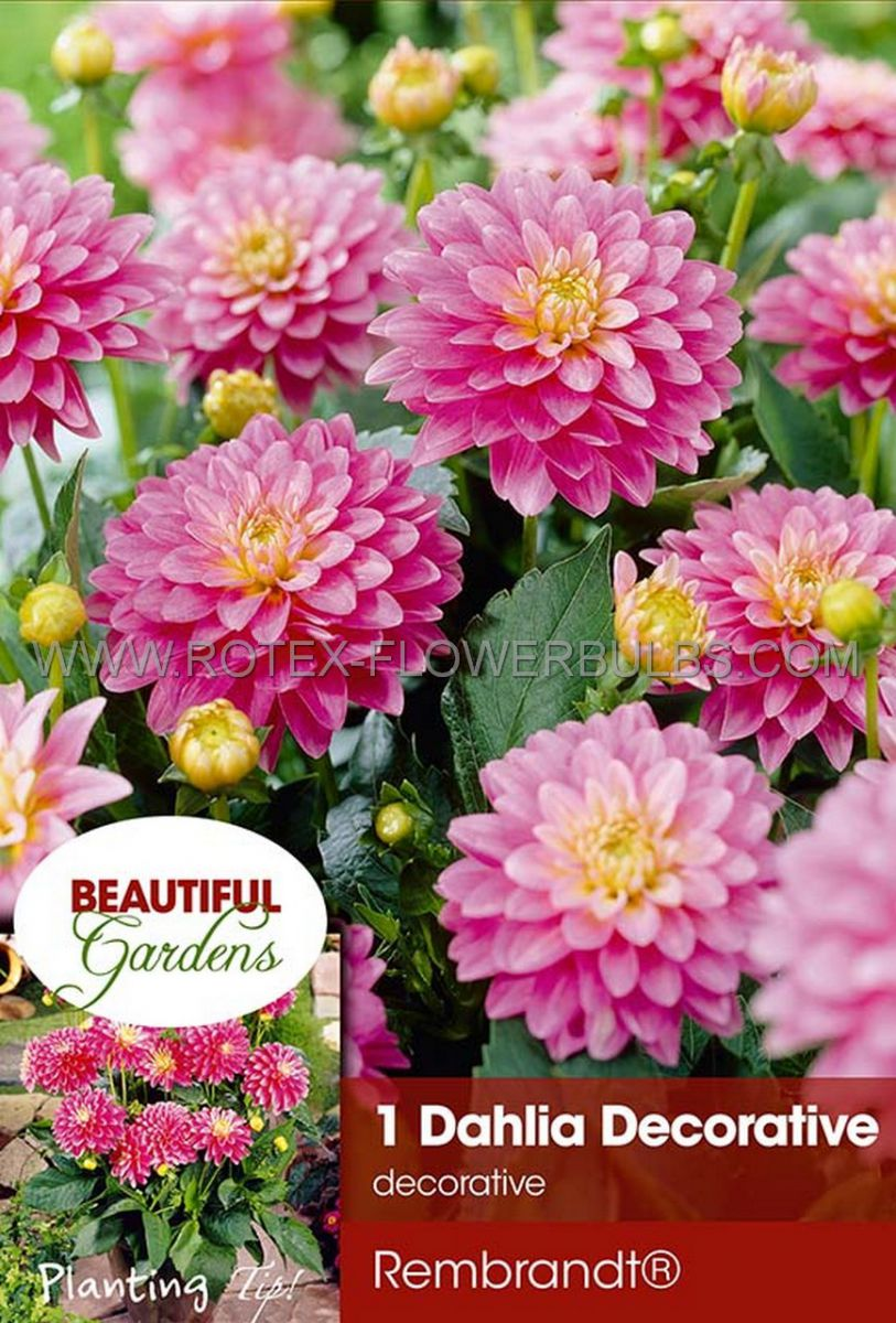 dahlia decorative borderpots gallery rembrandt i 10 pkgsx 1